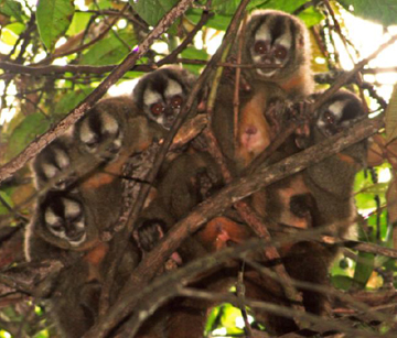 The Peruvian night monkey study group in vine tangle nest. Photo by: Sam Shanee/NPC.