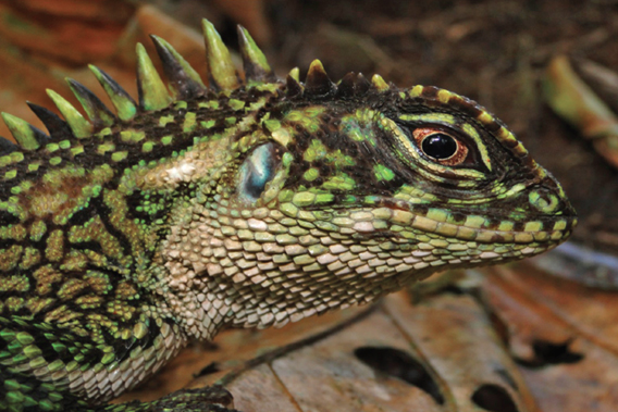 Scientists discover two new remarkably-colored lizards in the Peruvian Amazon (photos)