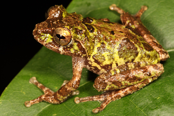 Scientists discover 8 new frogs in one sanctuary, nearly all Critically Endangered