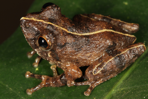 New species: Pseudophilautus bambaradeniyai. Photo by: L.J. Mendis Wickramasinghe.