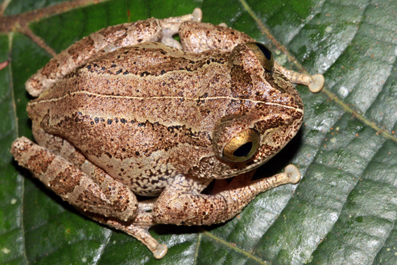 Pseudophilautus newtonjayawardanei. Photo by: L.J. Mendis Wickramasinghe.