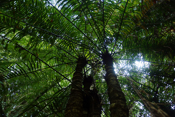Rainforest tree fern near Jantho, Aceh.