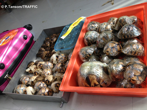 Ploughshare and radiated tortoises confiscated in Bangkok. Photo by: P.Tansom/TRAFFIC.
