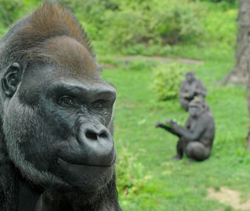 Thriving in a Slice of the Congo Set in the Bronx: Lowland Gorillas of the WCS's Congo Gorilla Forest.