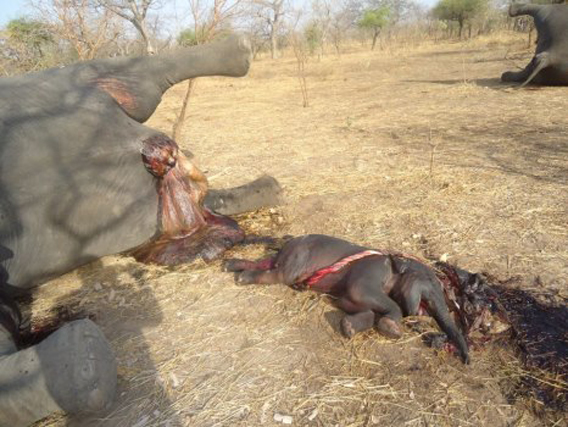 Una madre muerta con la cría unida todavía al cordón umbilical. La Presidente de SOS Elephants en Chad, Stephanie Vergniault, dijo a mongabay.com que esta cría probablemente había nacido durante el ataque a balazos de los cazadores furtivos sólo para perecer [seguidamente]. Foto cortesía de SOS Elephants en Chad.