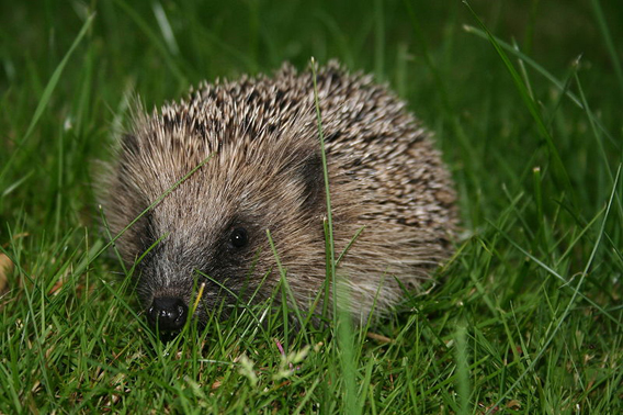 European hedgehog. Photo by: Gaudete.
