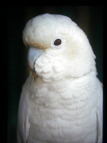 Philippine cockatoo. Photo by: Peter Widmann.