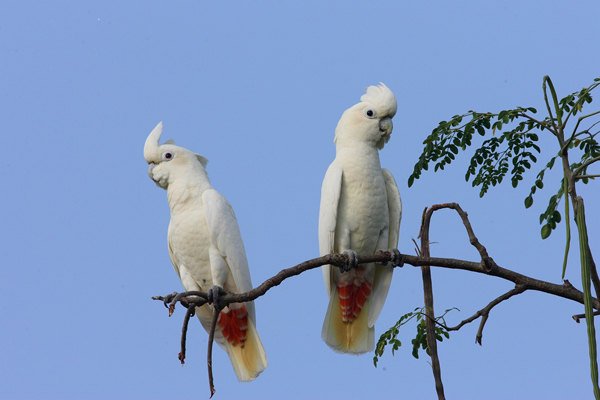 Philippine cockatoos. Photo courtesy of Katala Foundation.