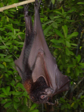 Rasa Island Wildlife Sanctuary is home to a large colony of large flying fox (Pteropus vampyrus), which are currently listed as Near Threatened by the IUCN Red List. Photo by: Katala Foundation.