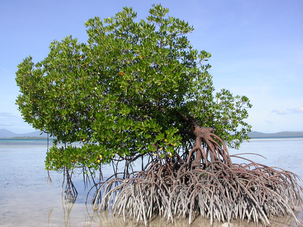 Mangrove off the Rasa Island Wildlife Sanctuary. Photo courtesy of Katala Foundation.