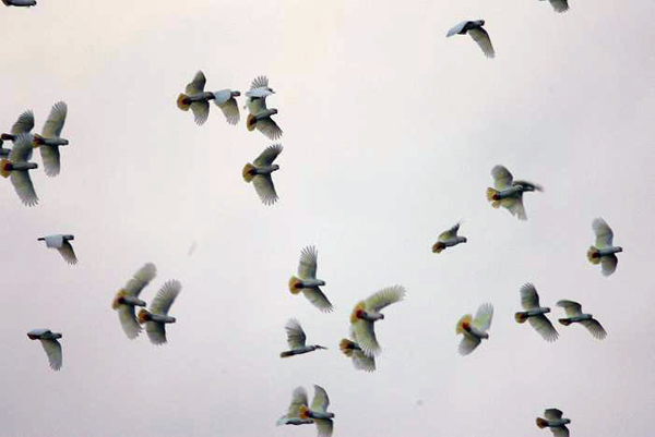 Flock of Philippine cockatoos. Photo courtesy of Katala Foundation.
