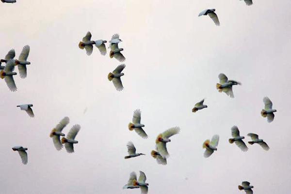 Flock of Philippine cockatoos. Photo courtesy of Katala Foundation.