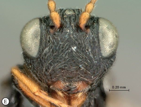 A close up of Paramblynotus alexandriensis, a new species from South Africa. Photo by: Simon van Noort.
