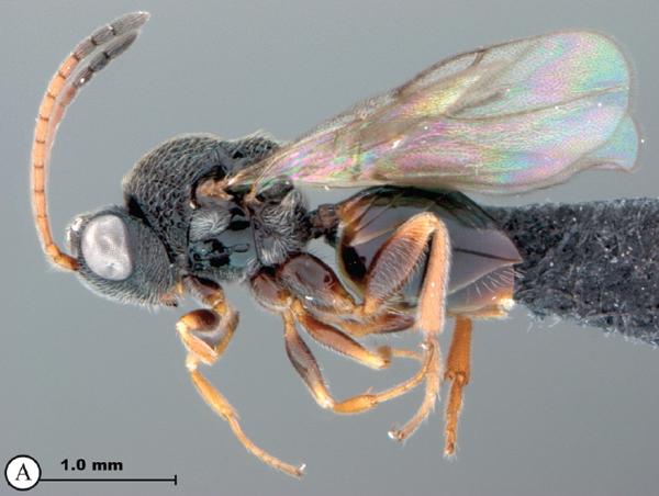 Paramblynotus parinari, a new species from Kenya and Uganda. Photo by: Simon van Noort.