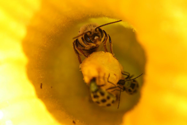 Squash bee and cucumber beetles in cucumber flower. Photo courtesy of Garibaldi et al.y