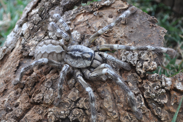 New species of tarantula from Sri Lanka: Poecilotheria rajaei. Photo by: Ranil Nanayakkara.