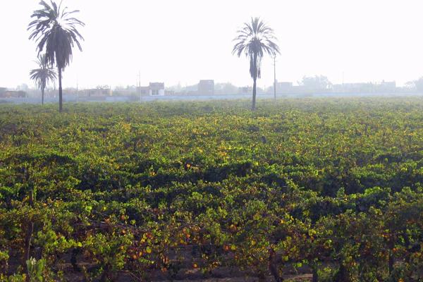 Viñedo en el Perú. Las uvas con las que se hace el vino son notoriamente sensibles al clima. Foto por: Tiffany Roufs.