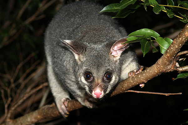 An invasive species in New Zealand, the Australian long-tailed possum may be a carrier of TB. Photo by: Brisbane City Council.