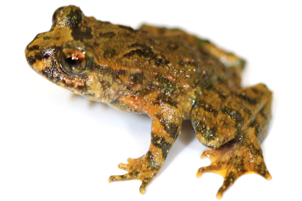 Hochstetter's frog, considered Vulnerable by the IUCN Red List. Photo by: Phil Bishop.