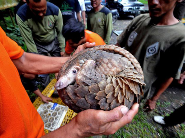 A live pangolin confiscated in Sumatra from a smuggler. Unfortunately the pangolins found aboard the ship were already dead. Photo by: Jefri Tarigan.