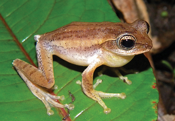 Two new frog genera discovered in India's Western Ghats, but restricted to threatened swamp-ecosystems