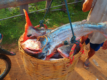 Big catch from the Mekong. Photo courtesy of FISHBIO.