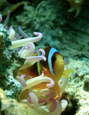Clownfish taking shelter in an anemone. Photo by: Joseph Szczebak.