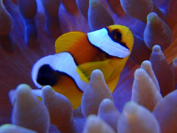 Clownfish and anemone. Photo by: Joseph Szczebak.