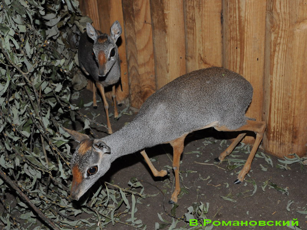 Two female silver dik-dik in Moscow zoo. Photo by Moscow zoo.
