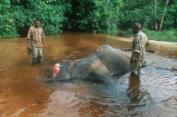 Forest elephant killed by poachers being inspected by game guards. Dzanga-Ndoki National Park, Central African Replublic (CAR). Photo by: © Martin Harvey/WWF.