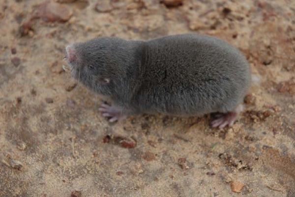 Una rata topo de Caroline adolescente (Fukomys vandewoestijneae). Fotografía por cortesía de: Daele, P.A.A.G. van et al.