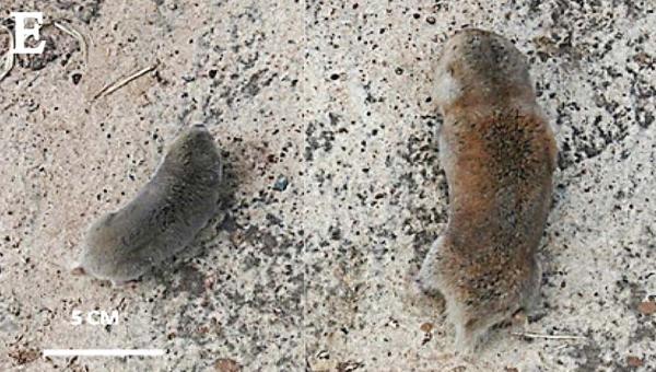 Comparación del tamaño: a la izquierda la rata topo de Caroline (Fukomys vandewoestijneae) y a la derecha la rata topo gigante (Fukomys mechowii). Fotografía por cortesía de: Daele, P.A.A.G. van et al.