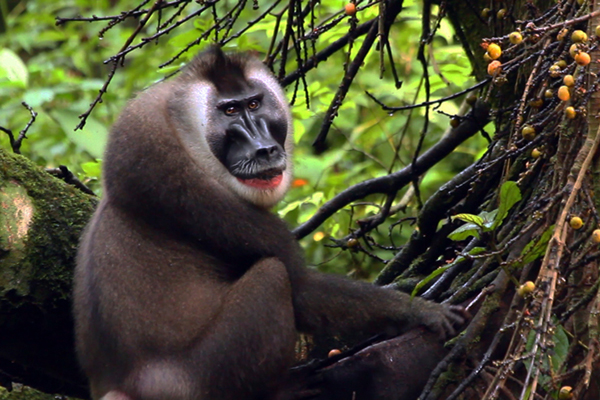 Drill baby drill! The fate of African biodiversity and the monkey you've never heard of