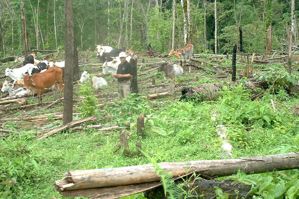 Cattle in Bosawás Biosphere Reserve. Photo courtesy of: Independent Mayangna Nation of Nicaragua.