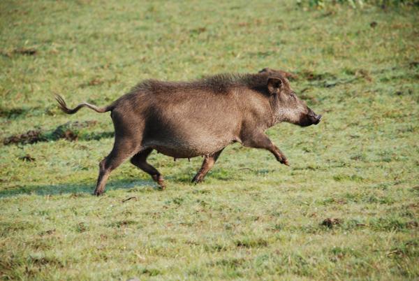 Javalis no Pantanal. Essa foto é uma cortesia de Arnaud Desbiez.
