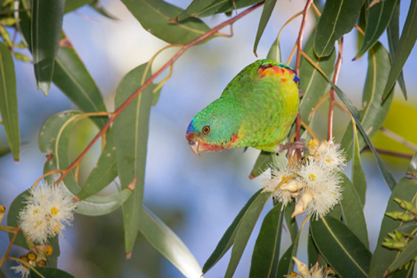 Swift Parrot (Lathamus discolor) © David Stowe. Swift Parrot (Lathamus discolor) population estimate 1,000 to 2,499 individuals. Threatened by development in wintering and breeding ranges in Australia.