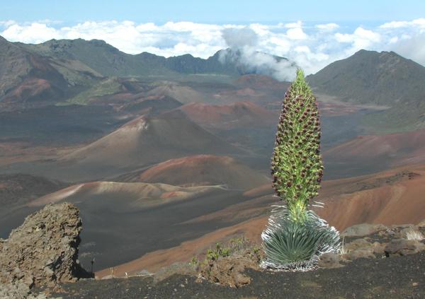 Blooming Hawaiian silversword. Photo courtesy of: Paul Krushelnycky.