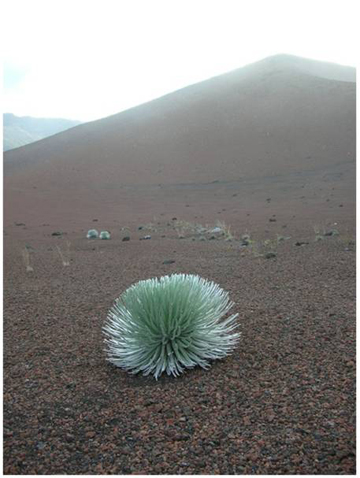 Non-flowering Hawaiian silversword. Photo by: Forest and Kim Starr.