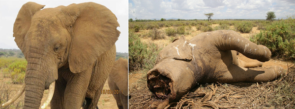 Ngampit in life and death. Photo courtesy of Save the Elephants (STE).