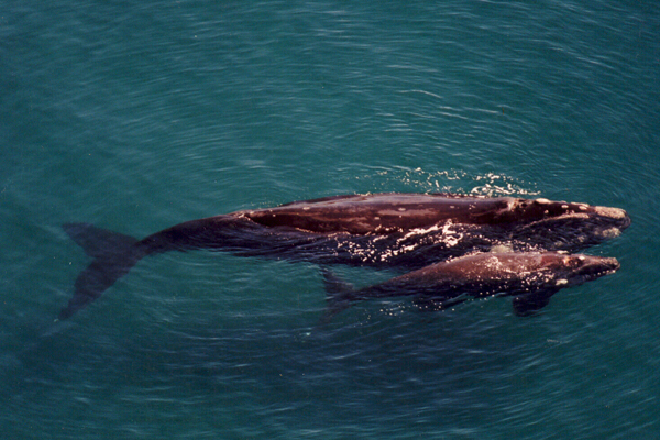 Southern right whale mother and calf. Photo by: G. Harris/Wildlife Conservation Society