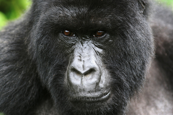 Why responsible tourism is the key to saving the mountain gorilla