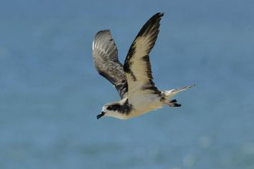 A Hawaiian petrel flies over part of its Pacific Ocean foraging grounds. Photo by: Jim Denny.