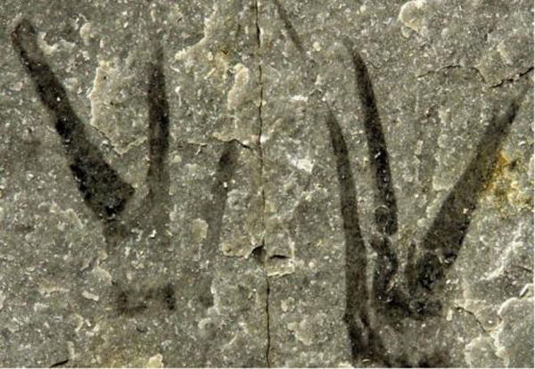 Kooteninchela deppi's fossilized claws. Image courtesy of Imperial College London.