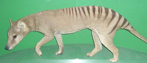 Could the Tasmanian tiger be hiding out in New Guinea?