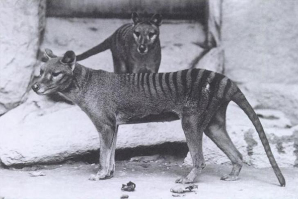 Photo of Tasmanian Tigers in the National Zoo, Washington DC in 1906. Photograph by E.J. Keller, from the Smithsonian Institution archives.
