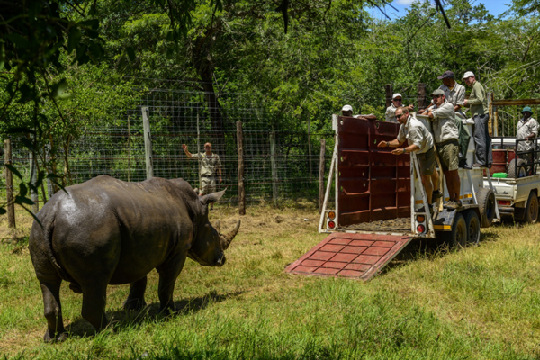 Moving a white rhino from Phinda Private Game Reserve. Photo by: Roger de la Harpe/&Beyond.