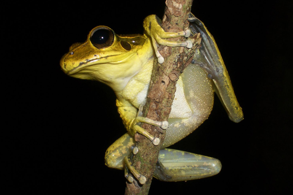 Second of the three species studied: Leuser's tree frog (Litoria lesueuri) with a tag. Photo courtesy of Jodi Rowley.