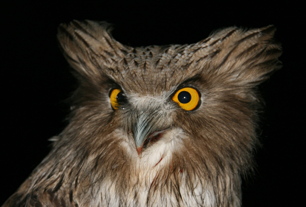 Blakiston's fish owl. Photograph (c) J. Slaght, Wildlife Conservation Society.