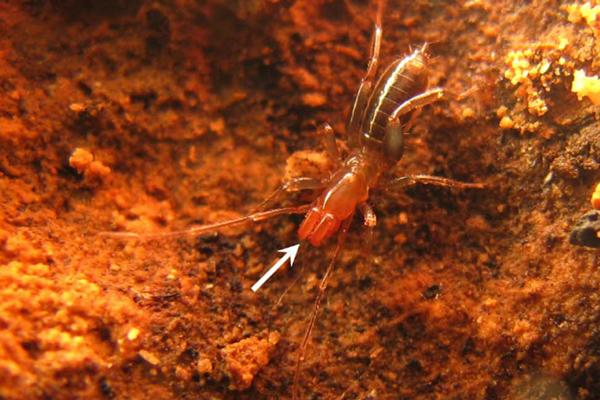 Male of new species Rowlandius ubajara. Photo by: Santos et al.