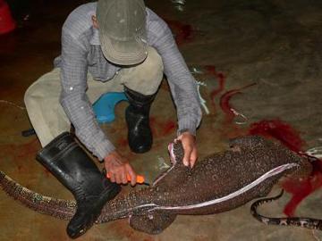 A cerca de 500 mil lagartos-monitores da água são abatidos todos os anos legalmente na Indonésia para produtos de luxo em países ocidentais. Porque as margens de lucro são enormes, a pressão sobre os lagartos selvagens é muito alto. Foto por: Mark Auliya.